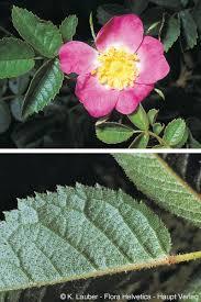 Rosa jundzillii Besser