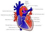 Images & Illustrations of ductus arteriosus