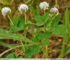 Trifolium isthmocarpum | Flora-On