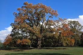 Image result for Oak trees do not have acorns/nut