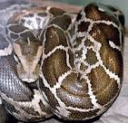 family pythonidae