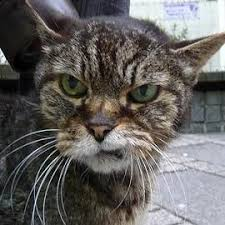 Angry Cat Blank Template - Imgflip via Relatably.com