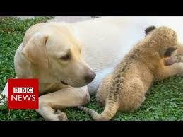 The <b>little lion</b> cub raised by a <b>dog</b>- BBC News