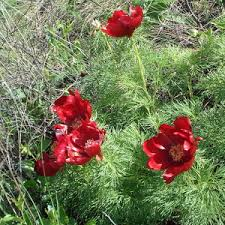 Paeonia Tenuifolia from the <b>Red Book</b> blooms again in Samara Oblast