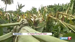 Image result for nellai banana