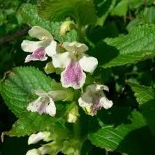 Melittis melissophyllum   Online Atlas of the British and Irish Flora