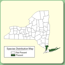 Cyperus microiria - Species Page - NYFA: New York Flora Atlas