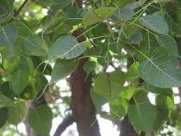 Image result for peepal tree in bodhgaya photo