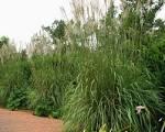 erianthus