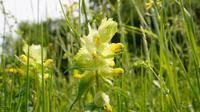 Harige ratelaar - Rhinanthus alectorolophus - Flora van Nederland