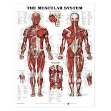human muscle system   human anatomy diagram    humananatomybody human muscle system muscular system diagram   humananatomybody
