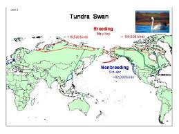 Image result for Tundra Swan Cygnuscolumbianus