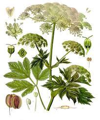 Peucedanum ostruthium - Wikipedia
