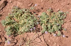 Verbena supina L. | Flora of Israel Online