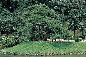 Image result for black pine