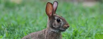 an interactive experience with the eastern cottontail rabbit