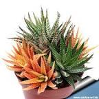 variegate
