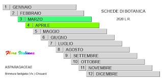 Brimeura fastigiata [Giacinto fastigiato] - Flora Italiana