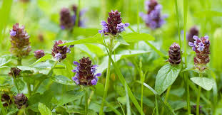 Prunella vulgaris: Uses, Benefits, and Side Effects