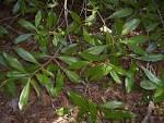 osmanthus americanus