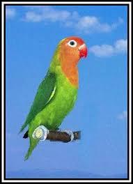 Wim Ducheyne. Wordt in het Nederlands ook Nyasa-dwergpapegaai genoemd. KENMERKEN: Hun lengte is 13 cm. - lilianae