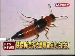 「隱翅蟲」的圖片搜尋結果