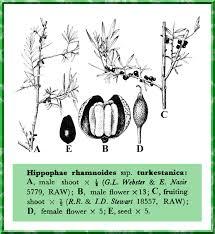 Hippophae rhamnoides ssp. turkestanica in Flora of Pakistan ...