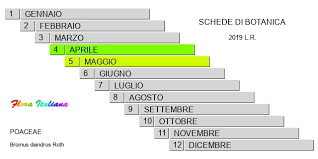 Bromus diandrus [Forasacco di Gussone] - Flora Italiana