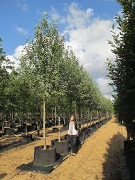 Sorbus aria Lutescens (Whitebeam)
