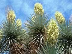 Yucca gloriosa Spanish Dagger, moundlily yucca, Palm Lily, Roman ...