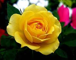 Image result for hd images of rose hd