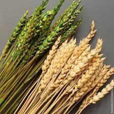 <b>Колосья</b> пшеницы зеленые мелкие, 10 шт – купить на Ярмарке ...