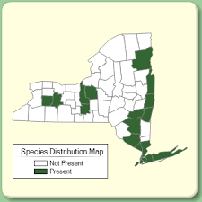 Juncus gerardi - Species Page - NYFA: New York Flora Atlas