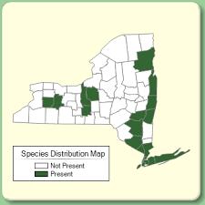 Juncus gerardi - Species Page - NYFA: New York Flora Atlas