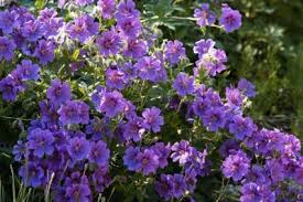 Image result for cranesbill geranium varieties