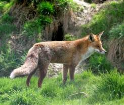Image result for picture of a fox