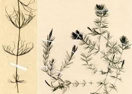 Ceratophyllum submersum L. subsp. submersum - Portale sulla flora ...