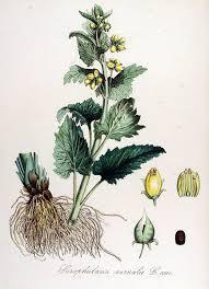 File:Scrophularia vernalis — Flora Batava — Volume v14.jpg ...