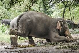 Image result for ill treatment of temple elephants in tamilnadu