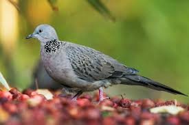 Eigentliche Tauben