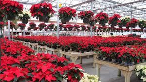 Holiday Poinsettia Trivia | | qctimes.com