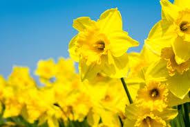 Top 10 <b>Spring Flowering</b> Bulbs   Thompson & Morgan