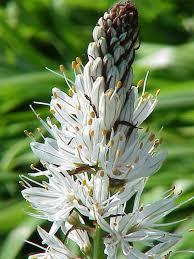 Asphodelus - Wikipedia