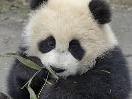 The Key to Making Baby <b>Pandas</b>? <b>Love</b> | Live Science