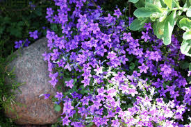 Care Of Aubrieta Groundcover: What Are Aubrieta Growing Conditions