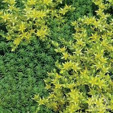 Plant Profile for Sedum sexangulare - Six-sided Stonecrop Perennial