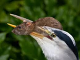 Image result for eagle eating rats