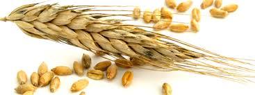 Risultati immagini per spiga di grano