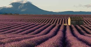 Provence <b>lavender fields</b>: where to see <b>France's</b> best lavender | CN ...