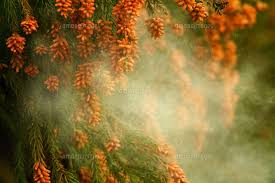 「スギ花粉 画像」の画像検索結果